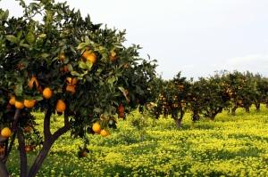 orange-grove-12