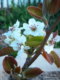 Asian Pears Blossoms