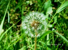 Dandelion - close-up