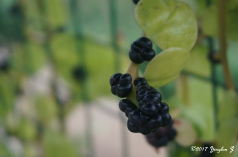 Some kind of berry