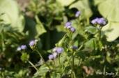 Violet Wildflowers