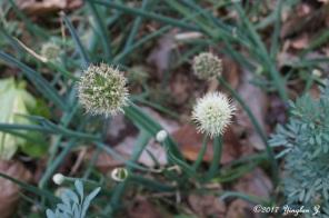 Green onion flower