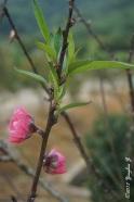 Peach Flower 1