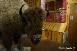 Bison (Buffalo) - dead yet wild