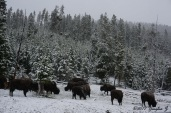 Bison huddle for warmth at Yellowstone