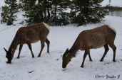 Deer nibbling at something