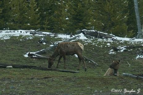 More deer at Yellowstone