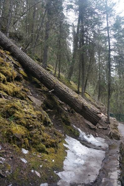 Tree fell in Johnston Canyon