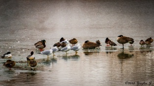 Ducks and birds standing in the middle of a frozen pond makes an interesting picture.