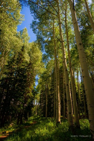 Getting lost among the tall white aspens in Wasatch National Forest