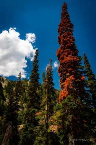 giant red spruce tree