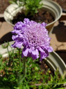 Purple Pincushion Flower